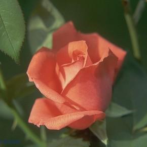Укрывать  розы и другие теплолюбивые растения нужно тогда , когда наступят морозы