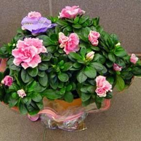 Азалия:уход и выращивание комнатного растения