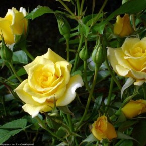 Уход за розами:удаляем цветы и бутоны перед морозами