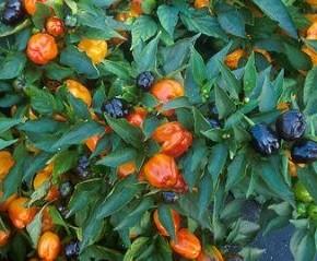 Выращивание сладкого перца:полезные свойства растения