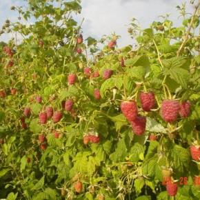 Выращивание малины:обрезка куста осенью