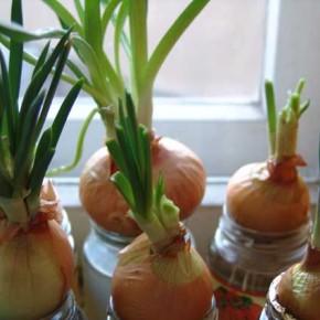 Выращивание лука на подоконнике:как подготовить ёмкост