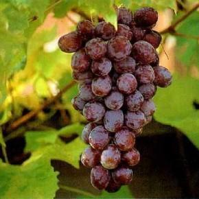 Сентябрь - время созревания винограда