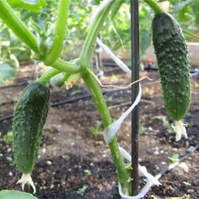 Как вырастить хороший урожай:огурцы на грядках
