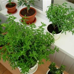Любисток и сельдерей - лечебная зелень на подоконнике