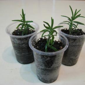 Как размножать растения черенками на приусадебном участке?