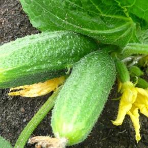 Выращивание огурцов:особенности полива