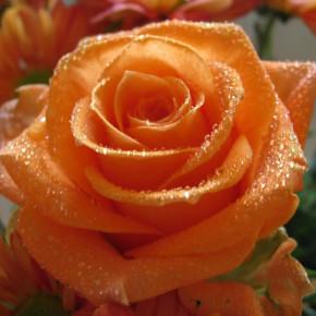Зачем обрезать розы на зиму?
