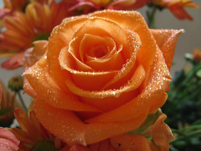 Как подготовить розы к зиме