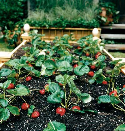 отличный урожай крупных , вкусных ягод