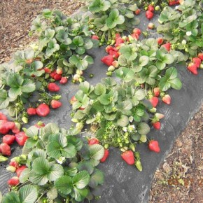 Секреты выращивания клубники на приусадебном участке