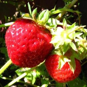 Как вырастить ягоды клубники размером с ладонь?