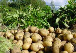 Вредители картофеля:как бороться с проволочником?