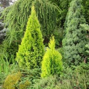 Как правильно сажать хвойные растения?