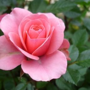 Обрезка роз на зиму:положительные и отрицательные стороны операции