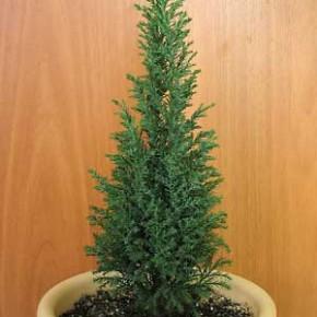 Кипарис:уход и выращивание комнатного растения