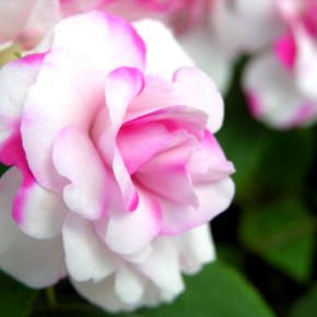 Уход за розами летом:полив и удобрение