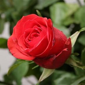 Выращивание роз:профилактика грибковых заболеваний