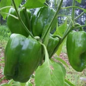 Как выращивать рассаду перца в стаканчиках?