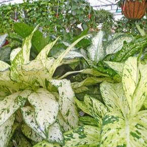 Как размножать цикламен:советы цветовода