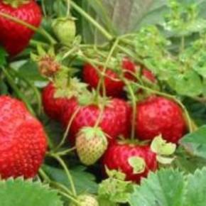 Как увеличить урожай клубники , регулируя размер ягод?