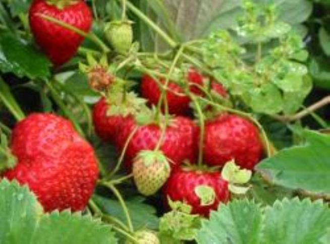 урожай крупных , вкусных ягод