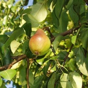 Как ухаживать за яблонями и грушами в сентябре?