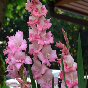 Сухой мох - защитит гладиолусы от болезней