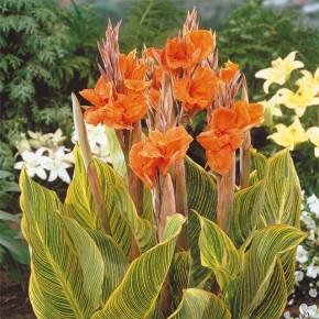 Канны на приусадебном участке:какое удобрение нужно цветам