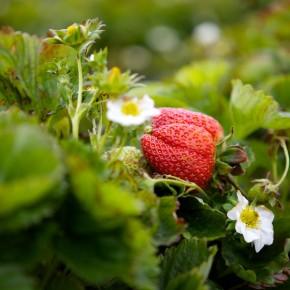 Какие ошибки чаще всего допускают садоводы при уходе за клубникой ?