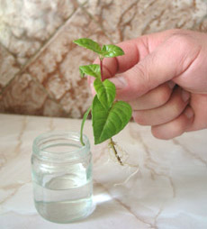 Как правильно размножать черенкованием?