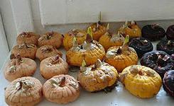 Выращивание гладиолусов:как правильно сажать луковицы