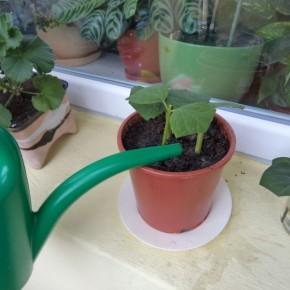 Какие растения можно размножать черенкованием?
