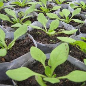 Как выращивать петунию в горшках?