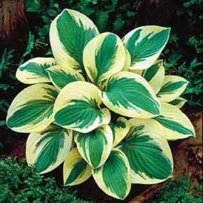 Цветы на приусадебном участке:как размножать хосты