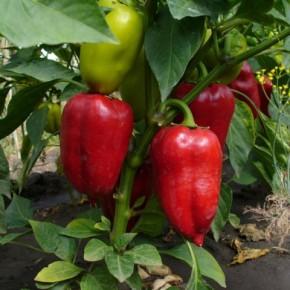 Как сажать болгарский перец в теплице?