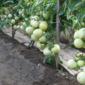 Как правильно проводить пасынкование томатов?