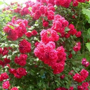 Выращивание роз:рекомендации по уходу