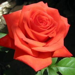 Как подготовить розы к зиме ?