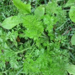 Жидкий компост из травы-бесплатное удобрение