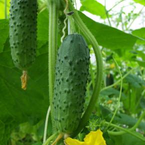 Выращивание огурцов:как поливать растение?