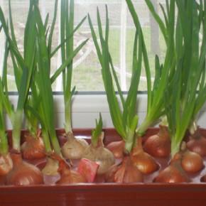 Какой должна быть в лажность и температура для выращивания лука?
