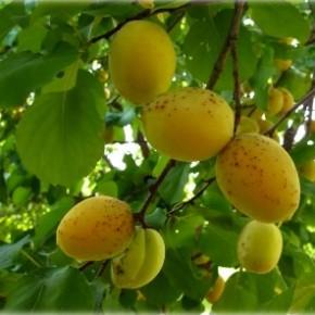 Абрикос Краснощек поздний-имеет большие вкусные плоды и большую урожайность