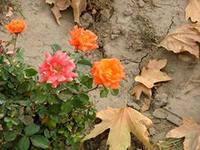 Какие цветы нужно пересаживать в середине сентября?