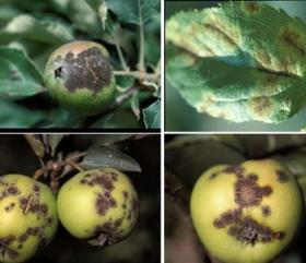 Как удобрять плодовые деревья?