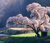 Сакура:выращивание и уход