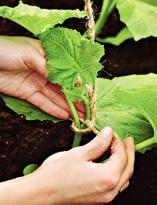 Как замульчивировать огурцы:советы огородникам