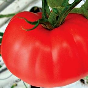 Как формировать томаты для получения крупных плодов?