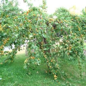 Как бороться с вредителями абрикос?