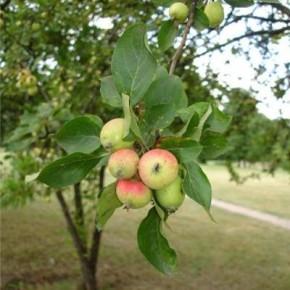 Летний уход за садом:поливы и удобрения под плодовые деревья